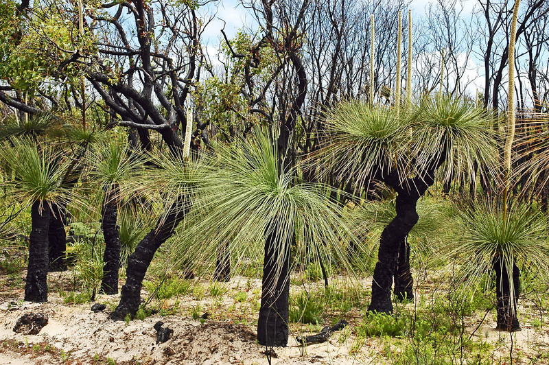Grasstrees after bushfire, southwest Australia