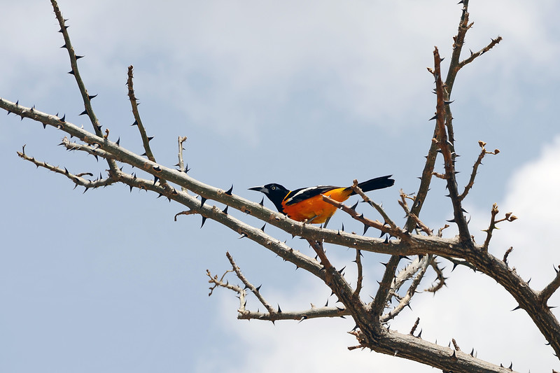 Orange-breasted oriole (or Trupial), the national bird of Curaçao