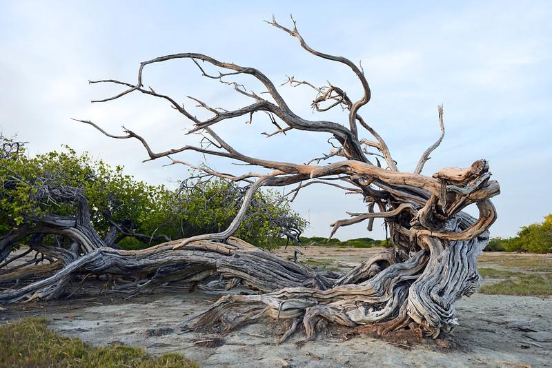 Old windblown mangroves in eastern Bonaire