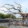 Old windblown mangroves in eastern Bonaire