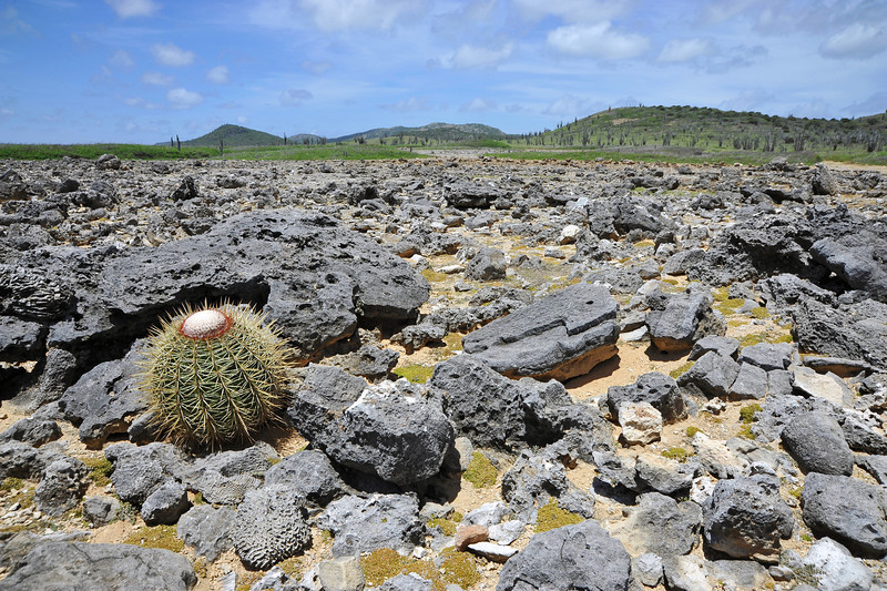 Turk's cap cactus growing on uplifted ancient coral reef in northeast Bonaire