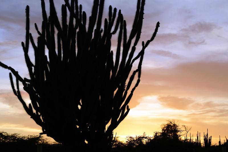 Giant club cactus at sunset, Bonaire