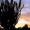 Giant club cactus at sunset, Bonaire