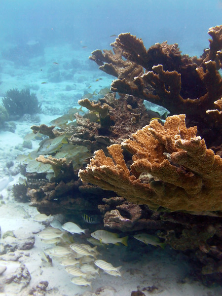 Elkhorn coral (Acropora palmata) in the windward reef at Lac Bay, Bonaire
