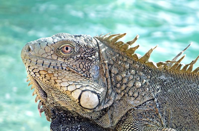 Iguana along the seashore of Bonaire
