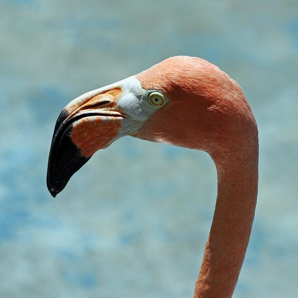 Caribean flamingo (Phoenicopterus ruber, local name chogogo) on Curaçao