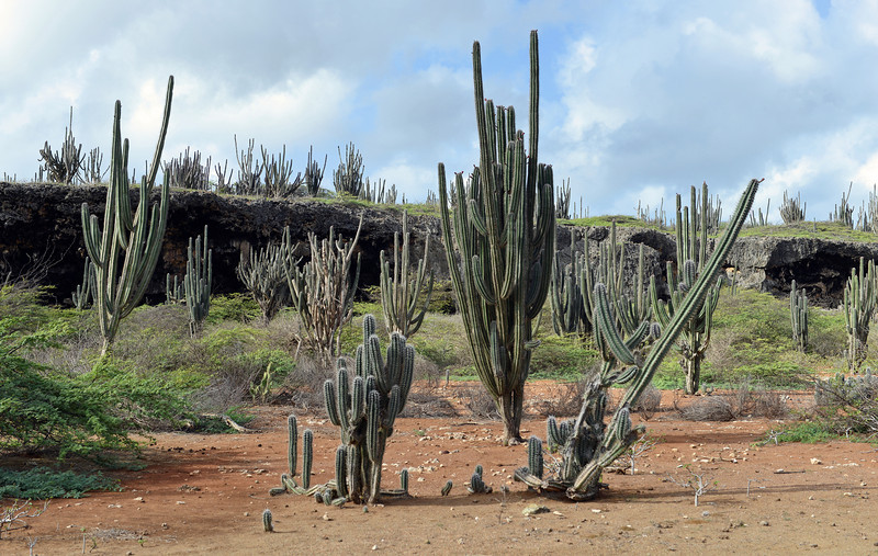 Club cacti along uplifted coral reef terrace, Bonaire
