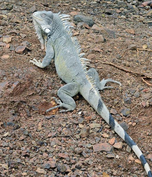 Iguana in Washington-Slagbaai park on Bonaire
