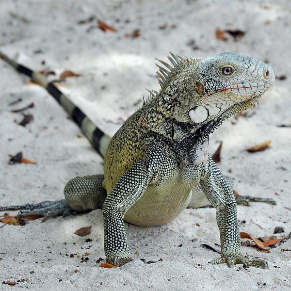 Iguana on coral beach in Curaçao