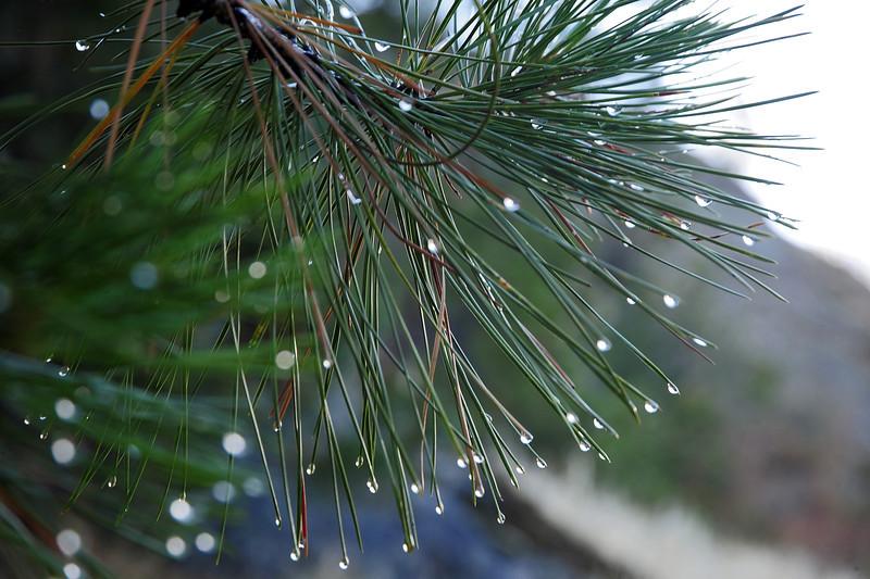Morning dew in pine tree, Canadian Rockies