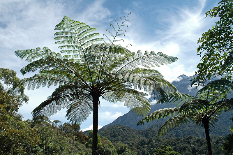 Tree ferns in the foothills of Mount Kinabalu in Sabah, Malaysia