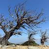 Windblown chestnut trees ('kastanologos' forest) on Mount Ochi in southern Evia, Greece