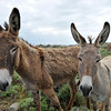 Big-eared donkeys on Mykonos, Greece
