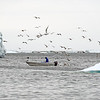 Halibut fisherman in Disko Bay, west Greenland
