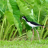 Hawaiian Stilt foraging in wetlands on Kauai, Hawaii