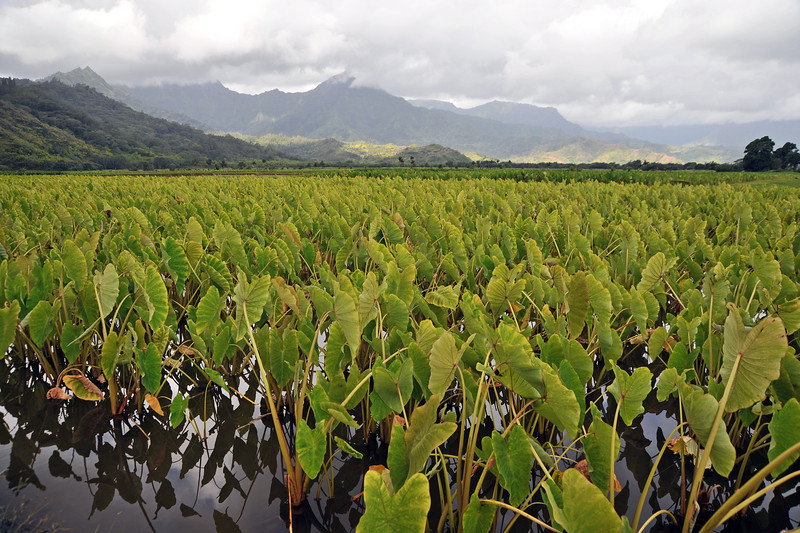 Cultivations of taro (Colocasia esculenta) near Hanalei on northern Kaua'i, Hawaii