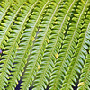 Fern leaves, Hawaii