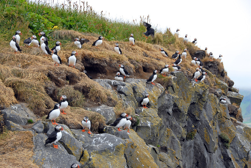 Puffin colony, Iceland