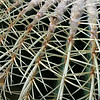 Thorny cactus in glasshouse, The Netherlands