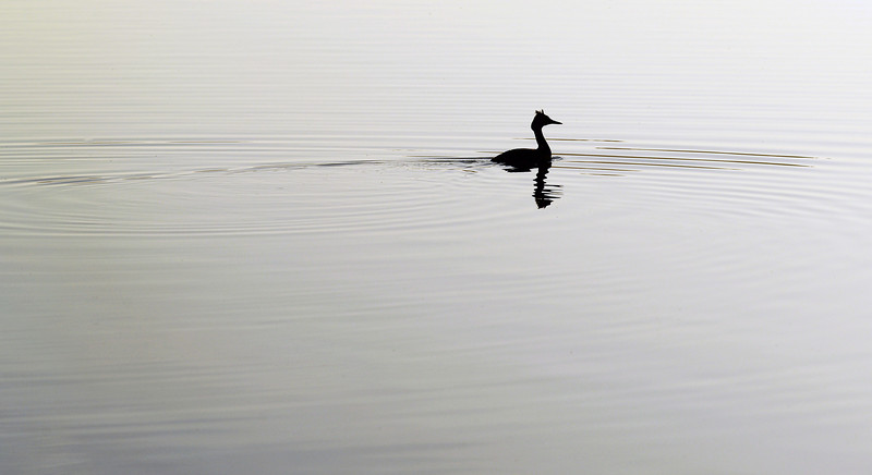 Great Crested Grebe (Podiceps cristatus) rippling a mirror-like lake surface in the early morning, The Netherlands