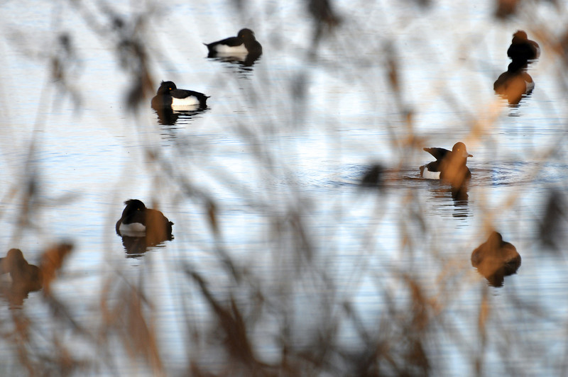 Sheltering ducks in winter, The Netherlands