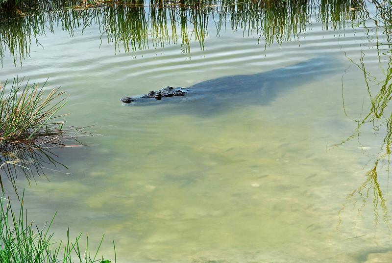 Crocodile in freshwater cenote in Yucatan, Mexico