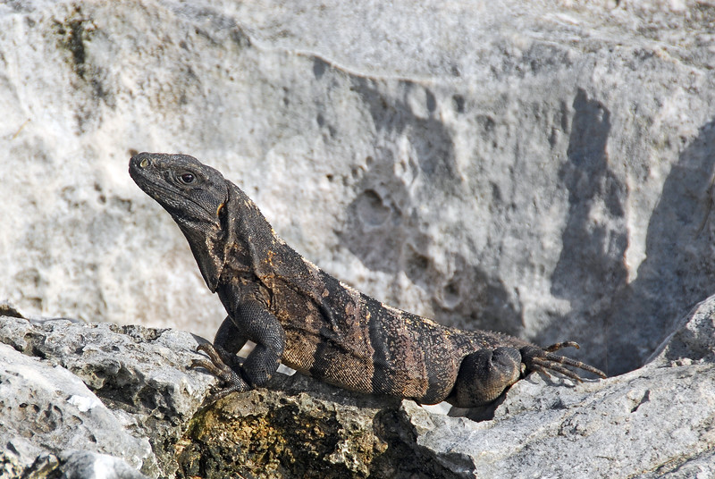 Iguana hunting on coastal limestone cliffs in Yucatan, Mexico