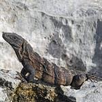 Iguana hunting on coastal limestone cliffs in Yucatan, Mexico