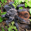Tarantula spider in Yucatan, Mexico