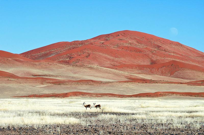 Gazelles along the edge of the Namib desert, Namibia