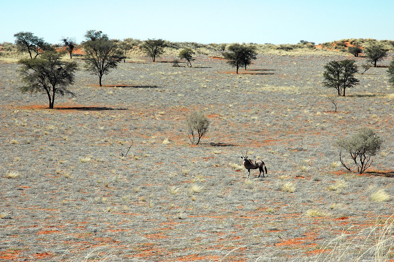 Solitary oryx in the Kalahari desert, Namibia