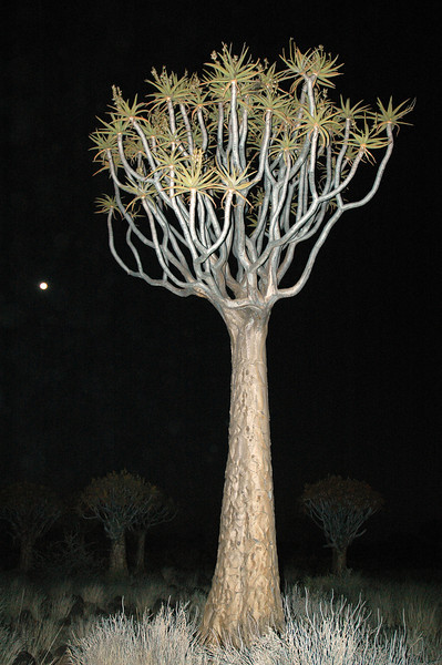 Quivertrees at night in southern Namibia