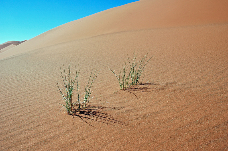 Isolated thorny plants in the Namib desert, Namibia