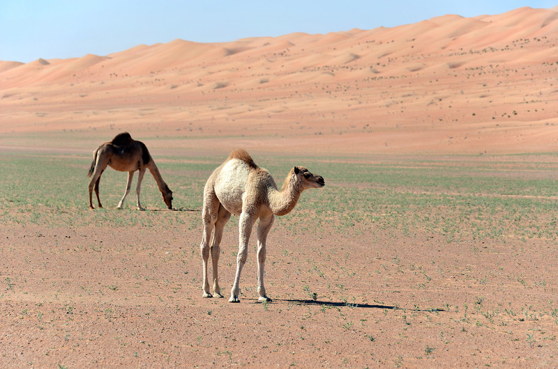 Mother and baby camel in inter-dune area of the Wahiba desert, Oman