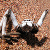 Dead spider in the Wahiba desert, Oman