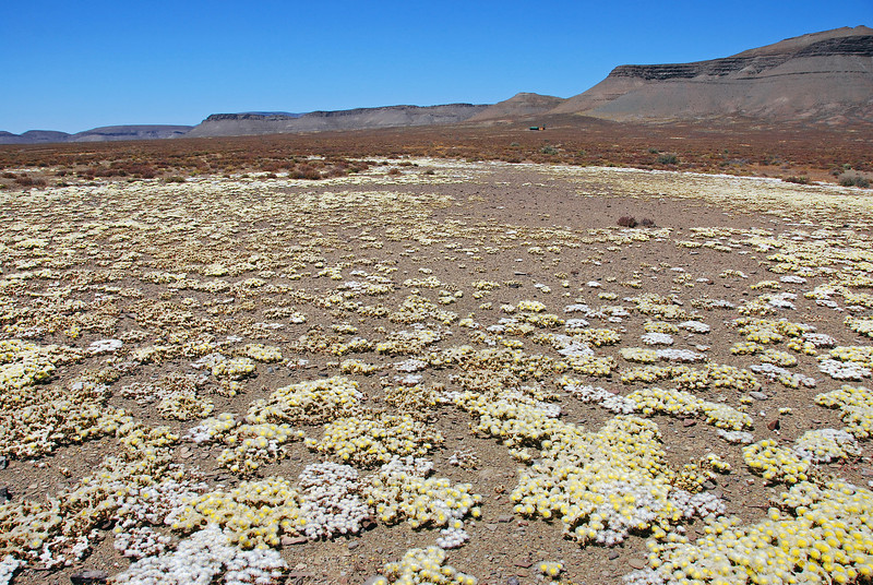 Karoo desert in bloom, South Africa