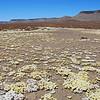 Karoo desert in bloom, South Africa