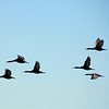 Cormorants heading for the coast, Cape Province, South Africa
