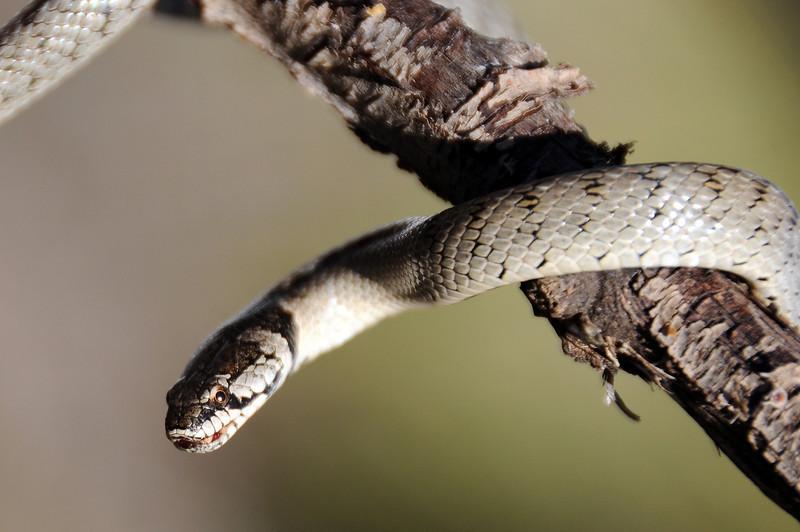 Snake in tree, Spain