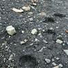 Polar bear track in muddy soil at Strykejernsodden along the northern shore of the Hornsund, Svalbard