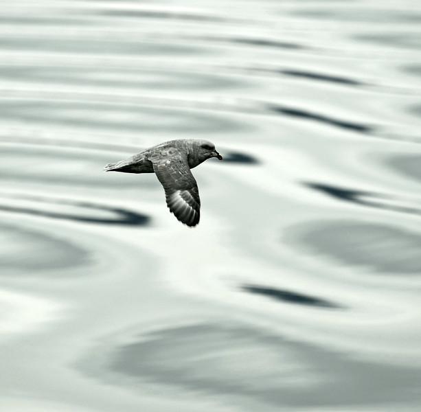 Wings over waves : Northern Fulmar in Svalbard, Norway