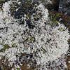 Reindeer moss (Cladina rangiferina) on Svalbard