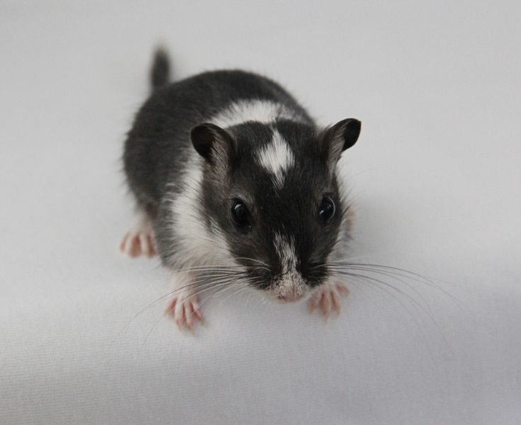 Missy was the female that started the Ohana Gerbils kennel. A beautiful spotted black.