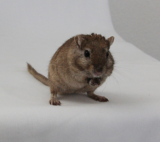 Mocha was the chunkiest little fellow and a fantastic nutmeg gerbil.
