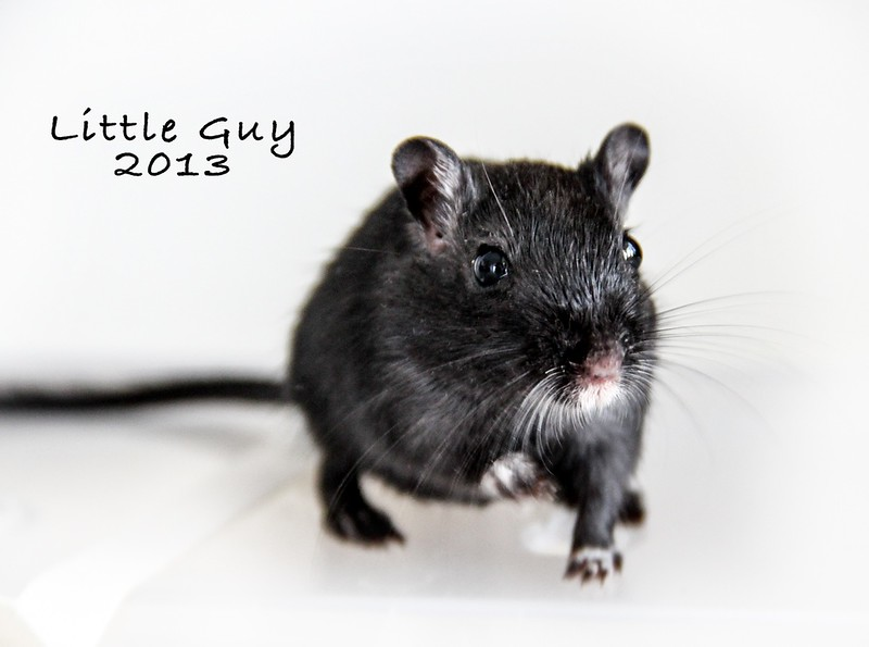 Little Guy was a beautiful black gerbil that kept our males company so they always had a buddy.