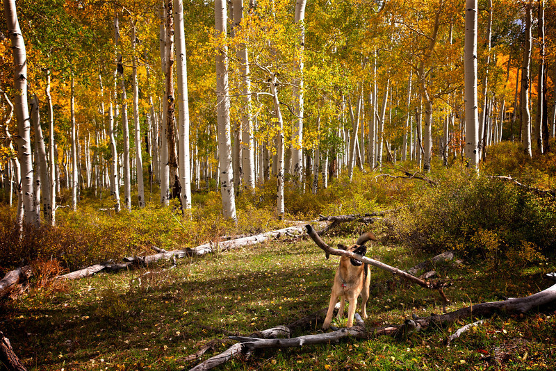IN THE COLORADO MOUNTAIN ASPENS