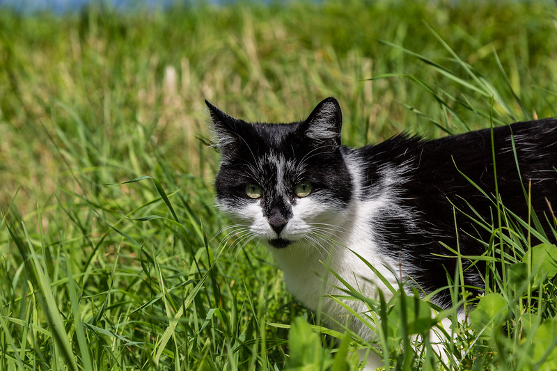 meadow cat - Tegernsee