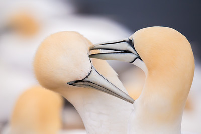 northern gannet, birds in love