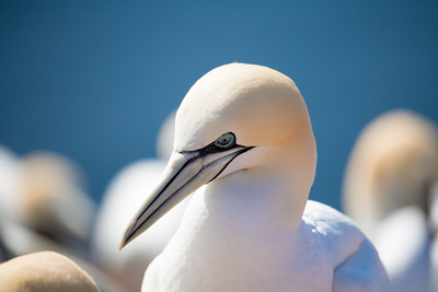 northern gannet sitting on the nest