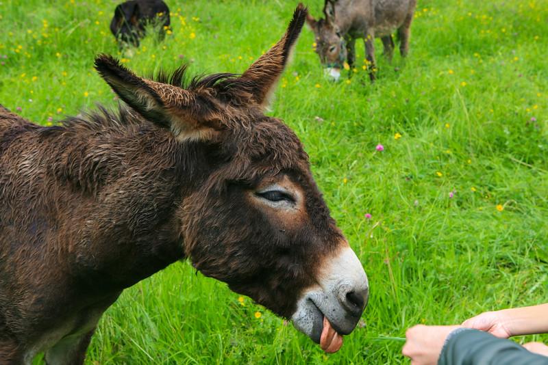 Donkey in Switzerland